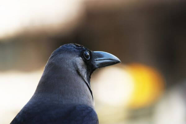 Crow Closeup photo
