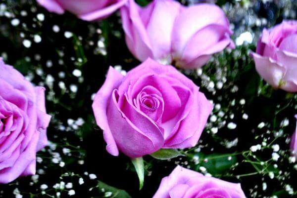 Beautiful Pink Rose photo