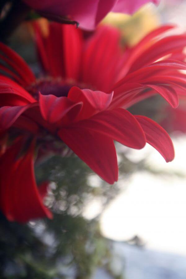 Lovely Red Daisy Flower photo