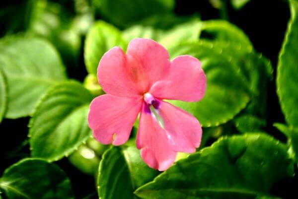 Light Pink Flower photo