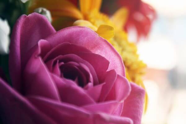 Pink Rose Closeup photo