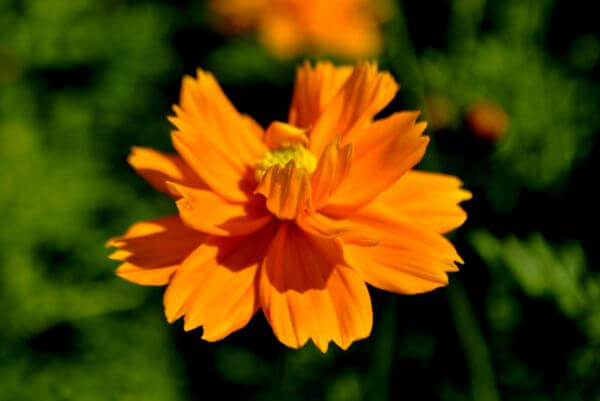 Orange Flower photo