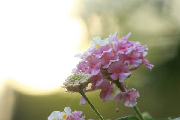 Soft Pink Flowers photo