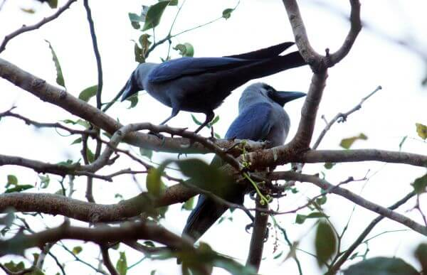 Two Crows On Branch photo