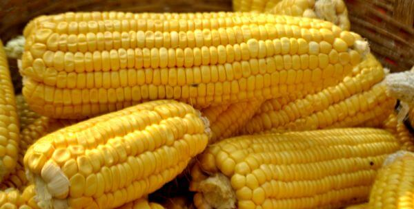 Corn Stalks photo