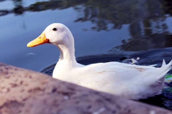 White Duck In Water photo