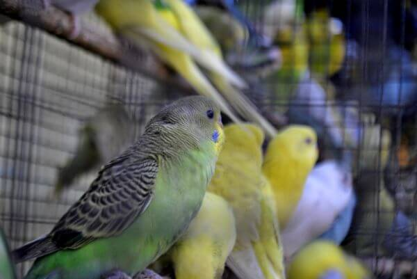 Lots Of Birds In Cage photo