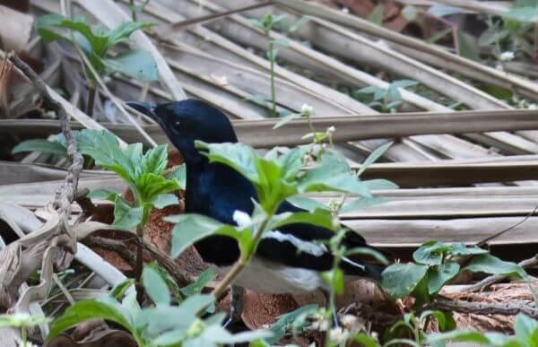 Black Bird Closeup photo