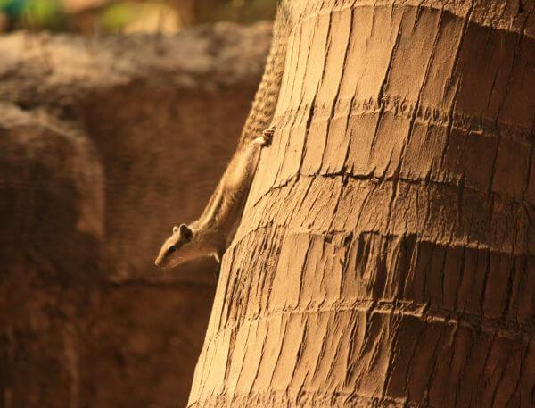 Coconut Tree Squirrel photo