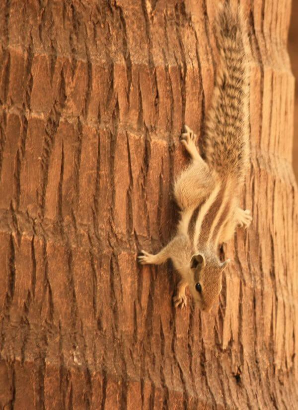 Squirrel Coconut Trunk photo