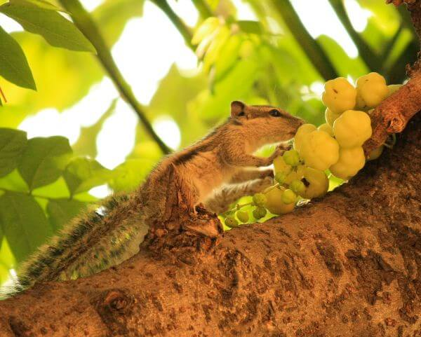 Squirrel Fruit photo