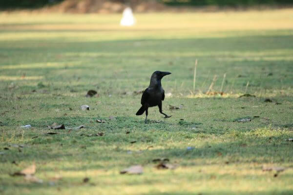 Crow Grass photo