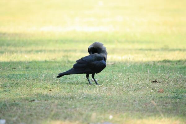 Crow Scratching photo