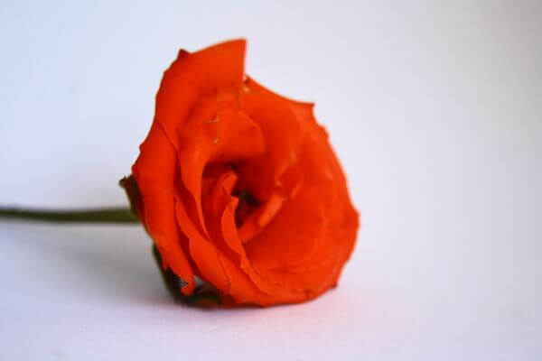 Red Orange Rose photo
