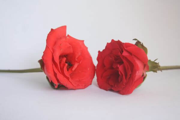 Two Roses photo