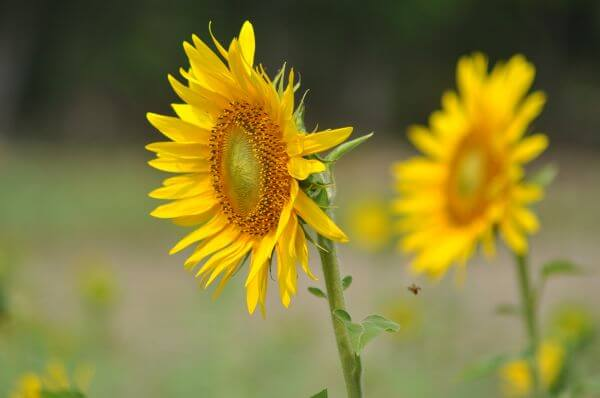 Sunflowers Couple Beautiful photo