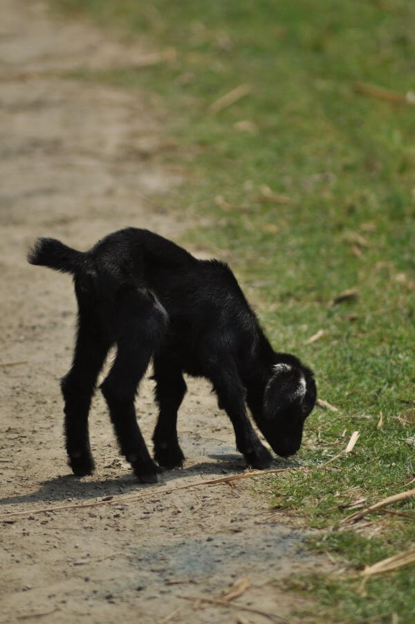 Baby Goat Grazing photo