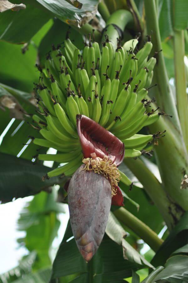 Banana Tree photo