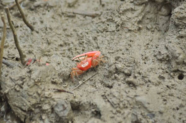 Crab In Marsh photo