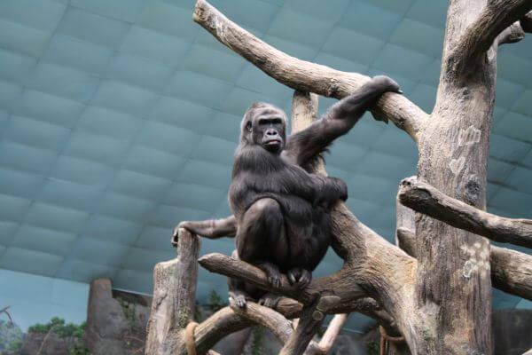 Gorilla In A Zoo photo