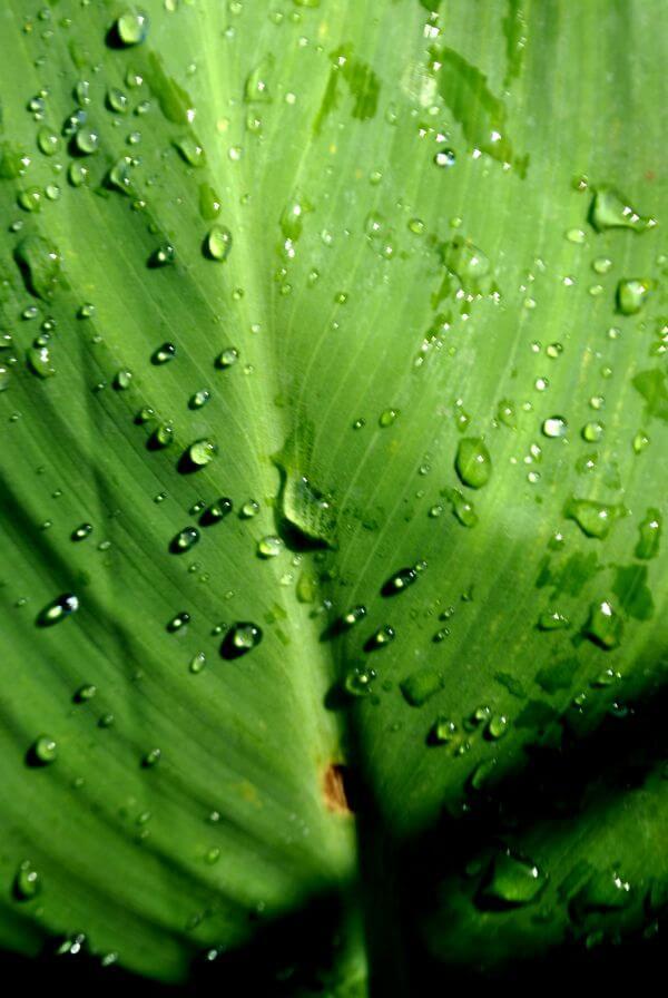 Banana Leaf Dew Drops photo