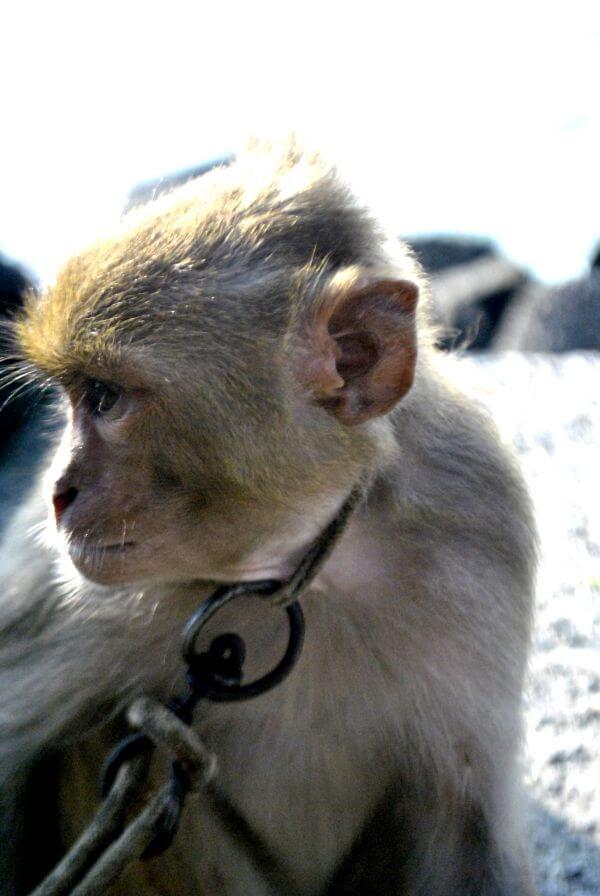 Captive Monkey 2 photo