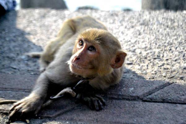 Captive Monkey photo