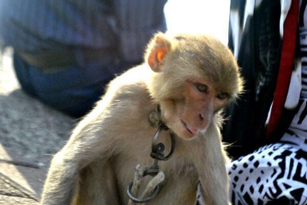 Monkey Captive photo