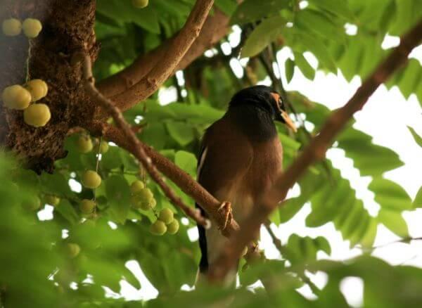Myna On Tree Branch photo