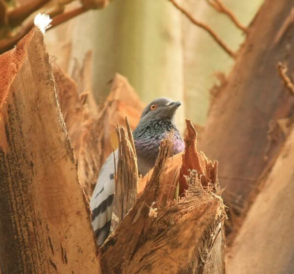 Pigeon Tree photo