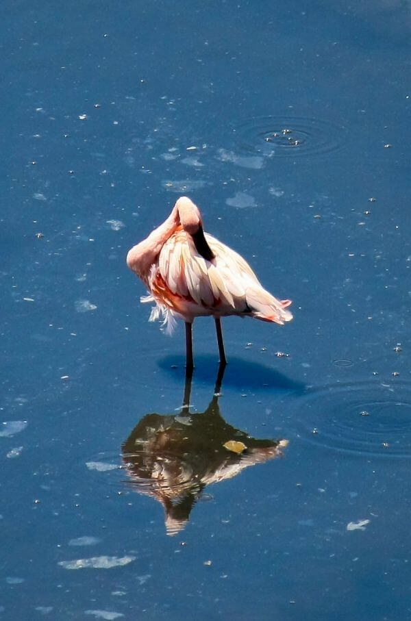 Flamingo Bird photo
