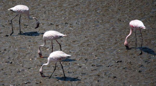 Flamingos Birds photo