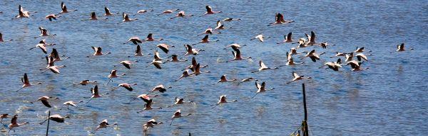 Flamingos Fly photo