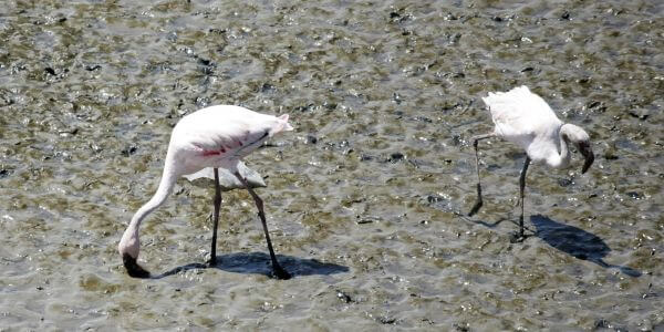 Flamingos In Sewri Mumbai photo