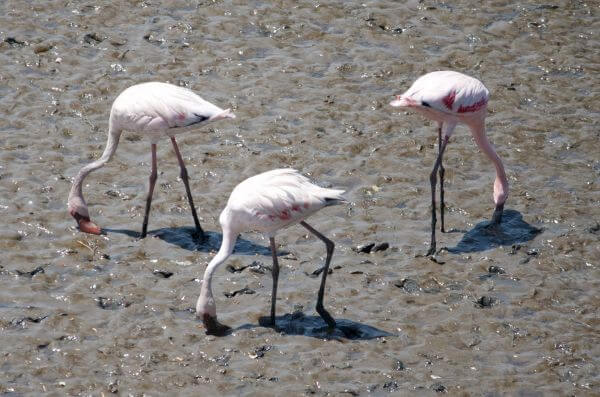 Flamingos Three photo