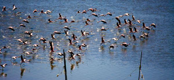 Flying Flamingos photo