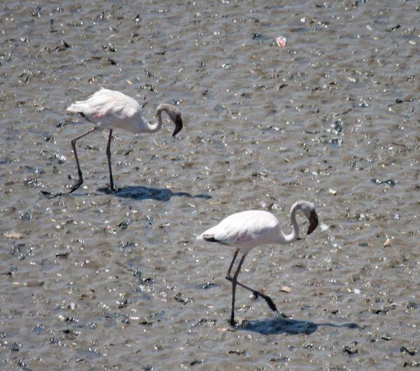 Two Flamingos photo