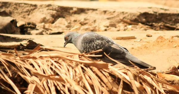 Pigeon On Ground photo