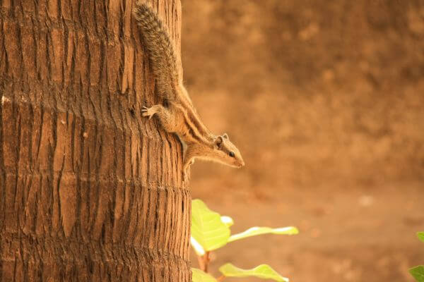 Squirrel Climbing Down Tree photo