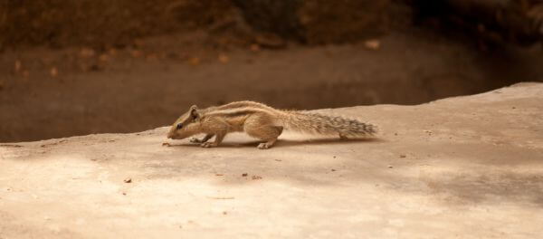 Squirrel Running photo