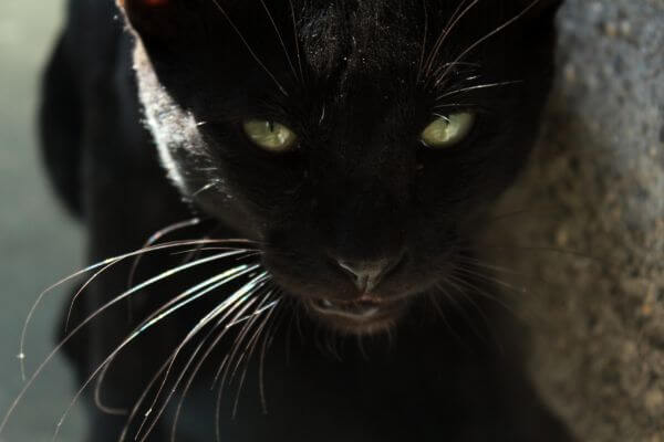 Black Cat Green Eyes Looking Dangerous photo