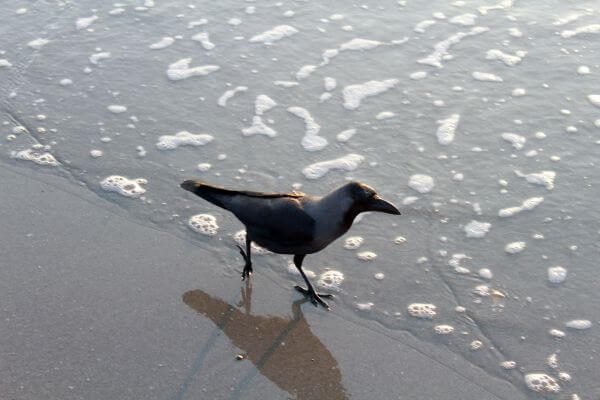 Black Crow Sea Wave photo