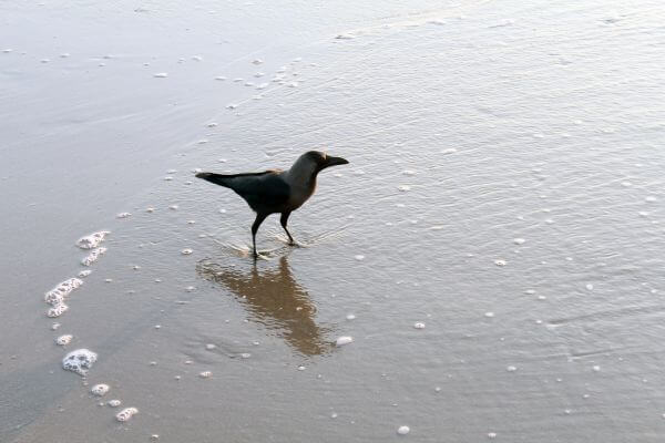 Black Crow Standing In Sea Waves photo