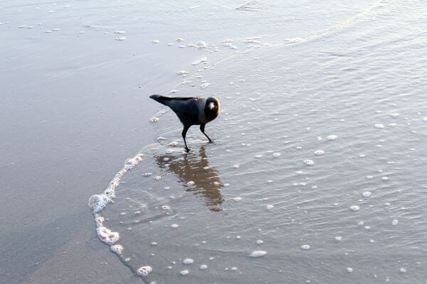 Crow In Beach Waves Water photo