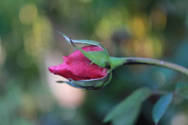 Pink Red Rose Bud photo