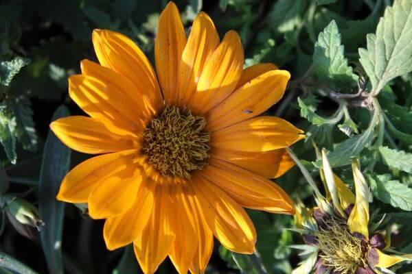 Sunflower Flower photo