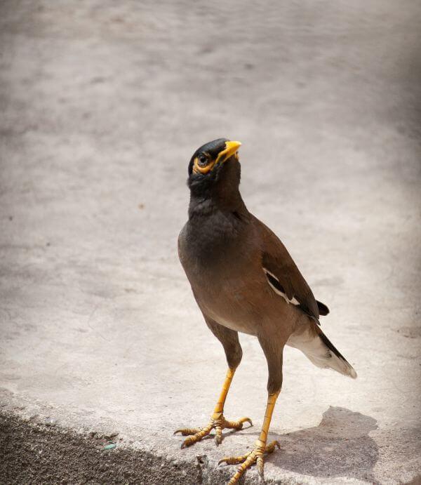 Myna Bird 2 photo