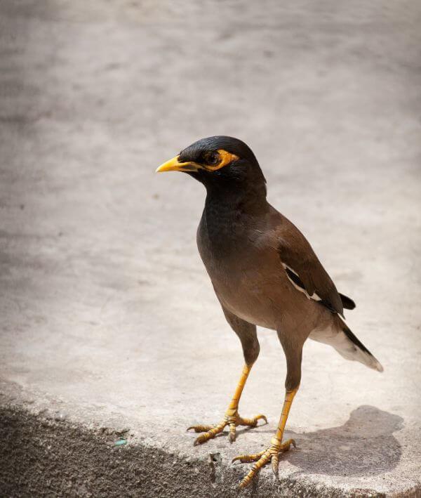 Myna Bird 3 photo