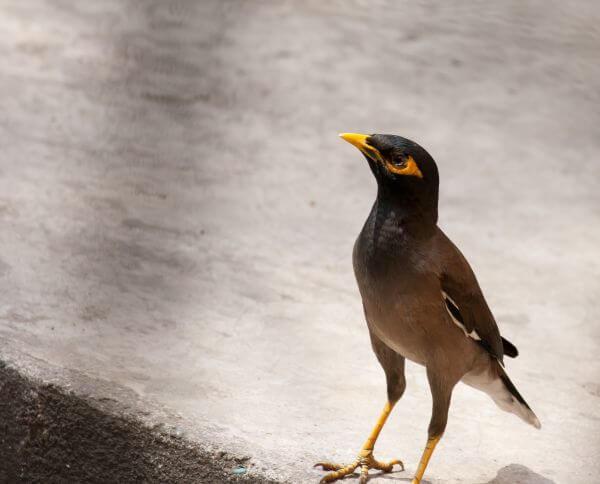 Myna Bird photo