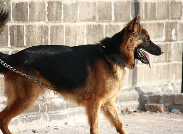 Alsatian Dog German Shephard photo